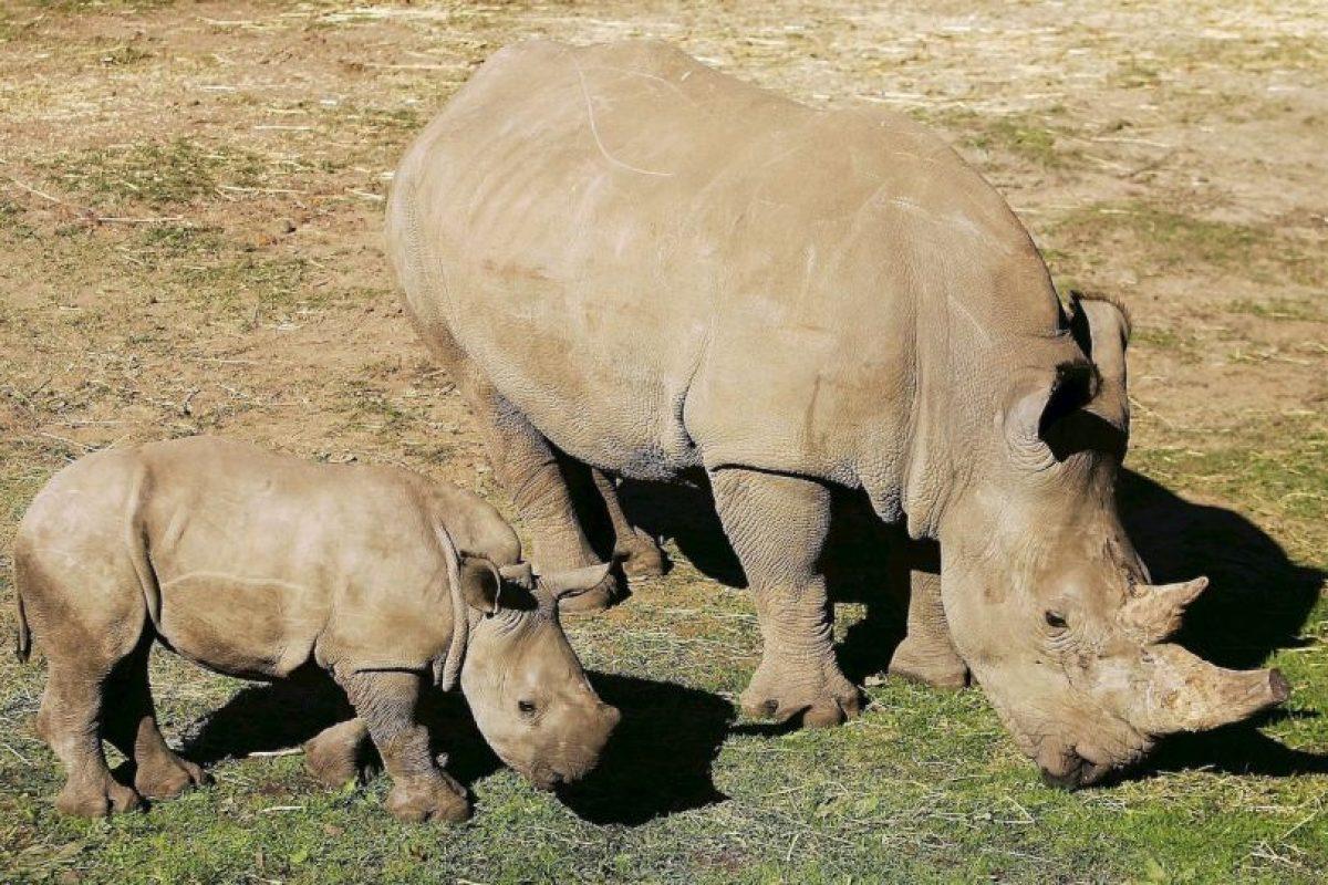 5. Mientras, la otra hembra que queda está en el Zoológico de San Diego, en California, Estados Unidos. Foto:Getty Images. Imagen Por: