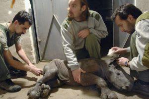2. Estos buscan los cuernos de estos animales. Foto:Getty Images. Imagen Por: