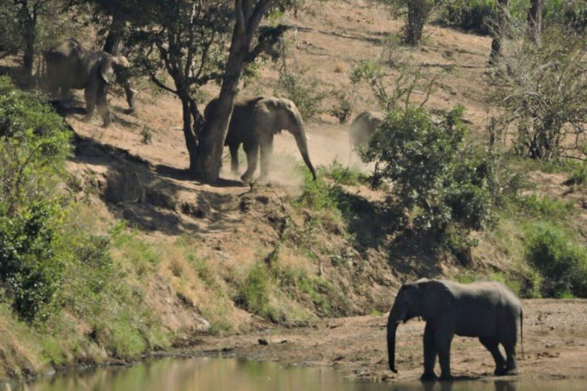 El pequeño elefante vive en el parque nacional Kruger, ubicado en Sudáfrica. Foto:Vía facebook.com/latestsightingskruger. Imagen Por: