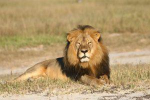 Alegadamente pagó más de 50 mil dólares para poder cazar al león. Foto:AP. Imagen Por: