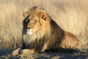 5. La muerte de Cecil, el león más famoso del mundo. Foto:Getty Images. Imagen Por:
