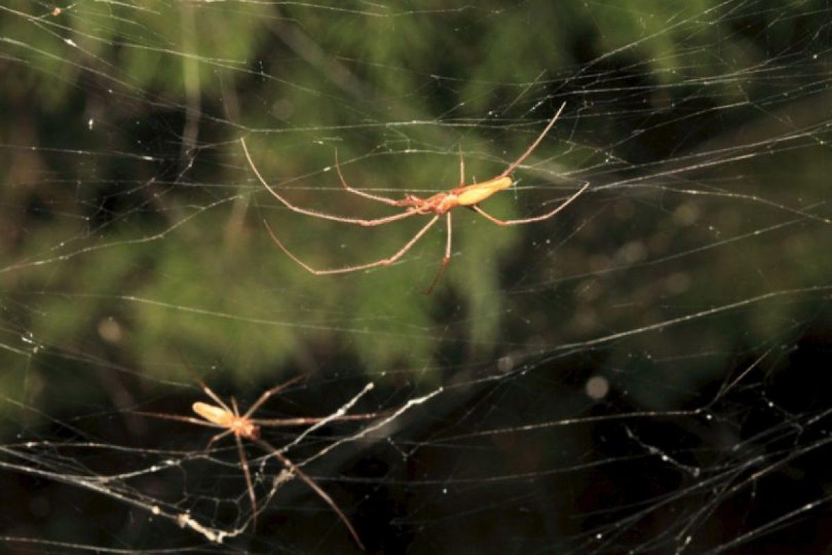 Estas son algunas de las arañas creadoras de dicha telaraña Foto: College of Agriculture and Life Sciences, Texas A&M AgriLife Extension Service. Imagen Por: