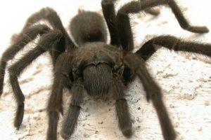 Estas arañas también podrían causarles terror. Foto:Pinterest. Imagen Por: