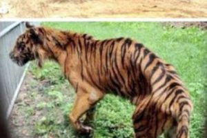 El peor zoológico del mundo: El zoológico de Surabaya, Indonesia. En enero se encontró a un león africano estrangulado en su jaula, ya que sufría de dolores estomacales. Pero este no fue el único caso: el año pasado, más de 40 animales murieron en el mismo zoológico. A una jirafa se le encontró plástico en su estómago y a un tigre, comida con formaldehído. La investigación en el zoológico reveló que muchos animales vivían en condiciones miserables, entre ellos un elefante que estaba encadenado y que tenía úlceras. Luego de la muerte del león, miles de peticiones han pedido el cierre del lugar. Foto:vía Oddee. Imagen Por: