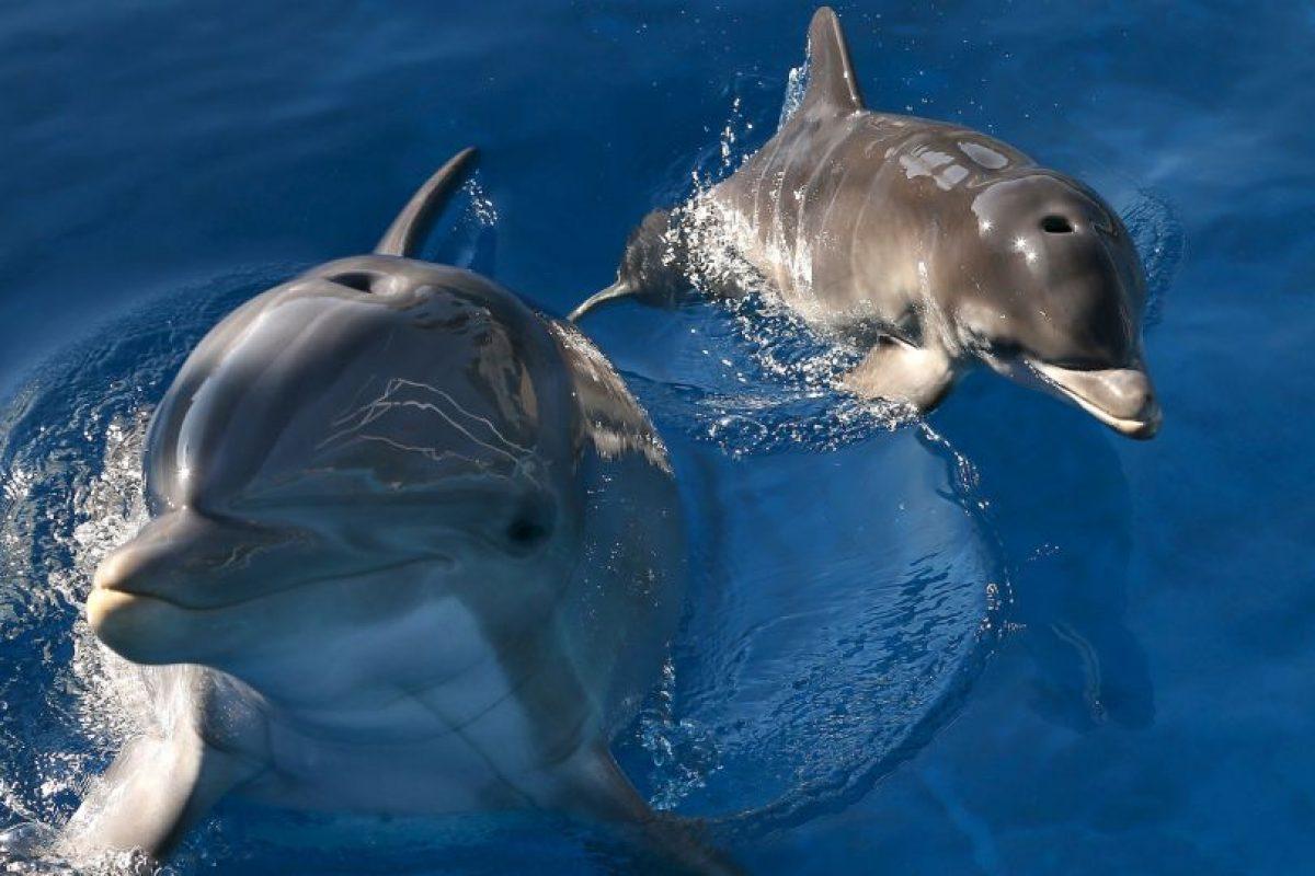 Este delfín llevaba un dispositivo que le permitía disparar flechas que podrían herir a un humano. Foto:Getty Images. Imagen Por: