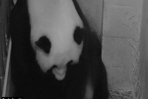 La madre panda se llama Mei Xiang. Foto:AFP. Imagen Por: