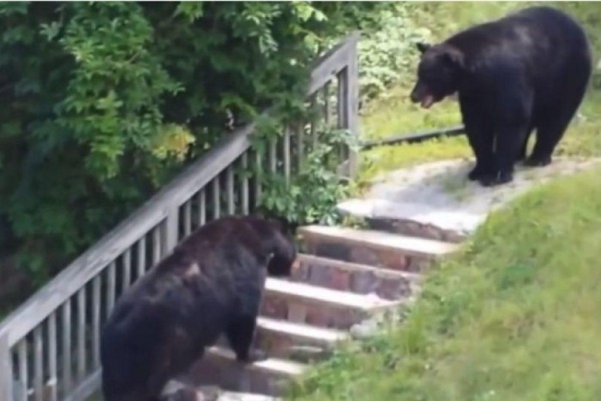 En octubre de 2014 se grabó una pelea entre dos osos negros en Nueva Jersey, Estados Unidos Foto:You Tube – Archivo. Imagen Por: