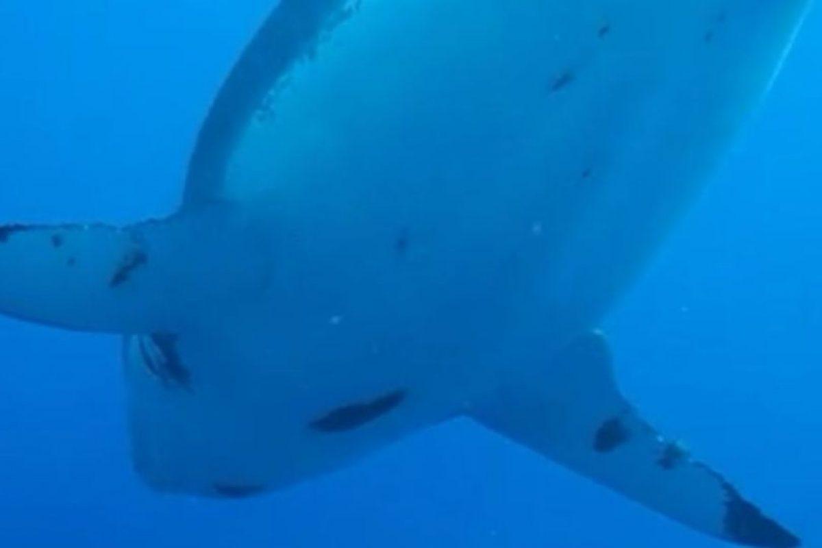 En las imágenes se muestra un enorme tiburón hembra paseando cerca de los investigadores, los cuales se quedan absortos al verla. Foto:Vía Facebook.com/amaukua. Imagen Por: