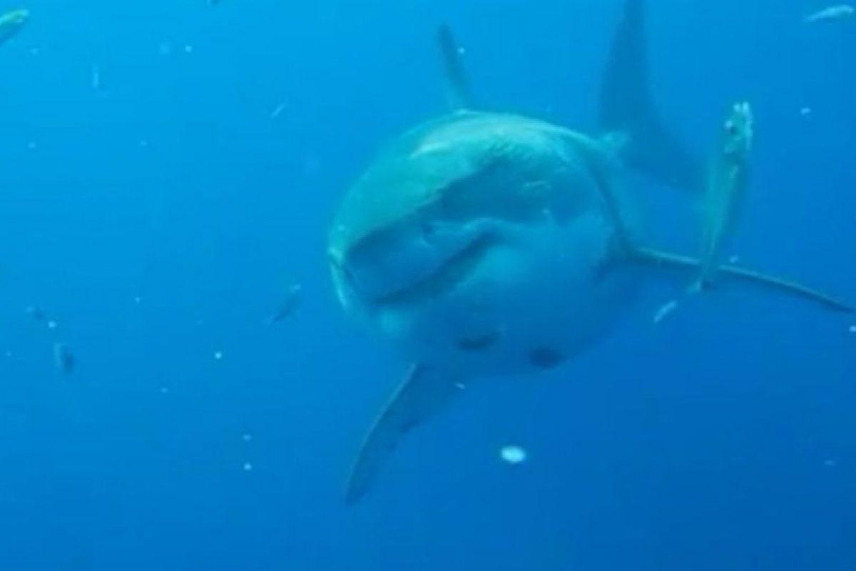 Esta tiburón blanco mide 6.1 metros de largo y podría tener 50 años de edad. Podría estar embarazada, lo que explicaría su asombroso tamaño. Foto:Vía Facebook.com/amaukua. Imagen Por: