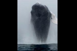 Esta ballena salió a saludar a los turistas. Foto:Vía Youtube. Imagen Por: