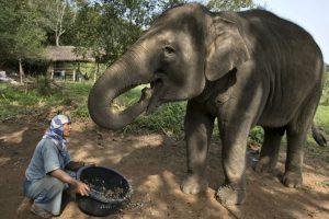 Sin embargo la especie también es víctima de casa furtiva, causada por el tráfico de marfil. Foto:Getty Images. Imagen Por: