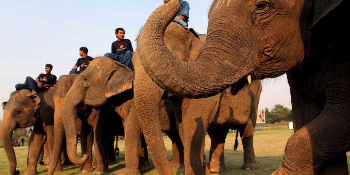 Un elefantes causó la muerte a su guía y