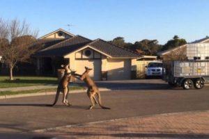 Un pareja de canguros fueron grabados mientras sostenían una insólita pelea callejera en el estado de Nueva Gales del Sur, en Australia. Foto:You Tube – Archivo. Imagen Por:
