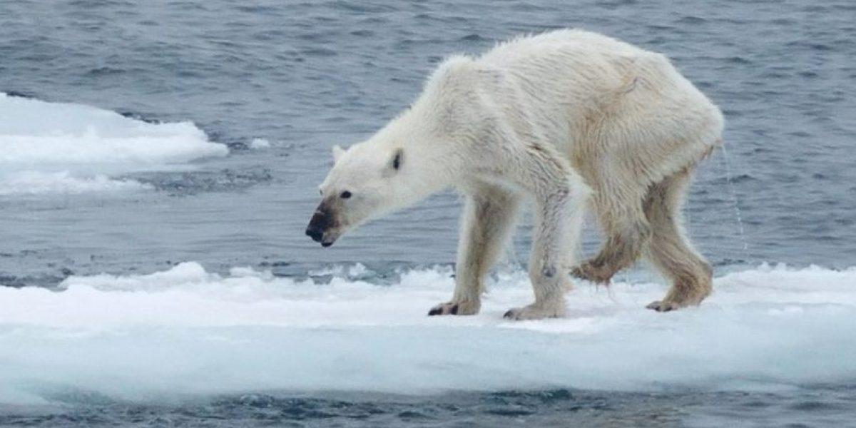 La apariencia de este oso polar está causando controversia en Internet