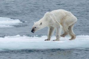 Los osos polares se han visto gravemente afectados por el cambio climático, y los investigadores están preocupados porque si continúa el calentamiento global Foto:Vía Facebook/kerstin.langenberger.photography. Imagen Por: