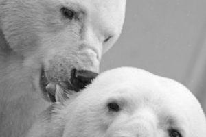 Ellos dependen de las distintas especies de focas como su principal fuente de alimento. Foto:Wikimedia. Imagen Por: