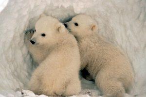 Los osos polares viven sólo en la región del Ártico, donde caminan por las gruesas capas de hielo. Foto:Wikimedia. Imagen Por: