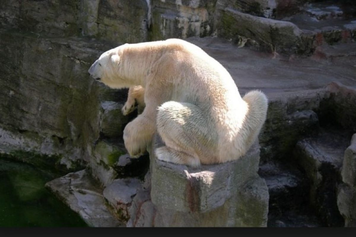 A medida que estas especies tienen que moverse para encontrar su propio alimento, los osos polares tienen menos para vivir. Foto:Wikimedia. Imagen Por: