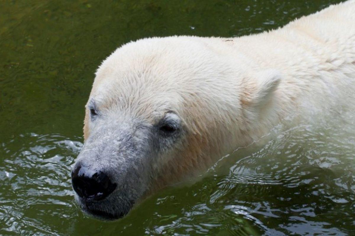 omo este hielo comienza a derretirse, su hábitat natural está siendo destruido y no hay forma de recuperarlo. Las únicas excepciones son los que están en cautiverio en zoológicos, donde las temperaturas son más cálidas. Foto:Pixabay. Imagen Por: