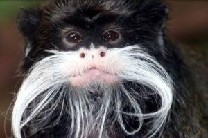 1. Tití bigotudo Foto:Vía Wiki. Imagen Por: