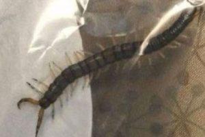 El joven despertó con un horrible dolor en una oreja y cuando quiso saber qué tenía adentro, su madre encontró una horrible sorpresa: un ciempiés gigante. Foto:vía Youtube. Imagen Por: