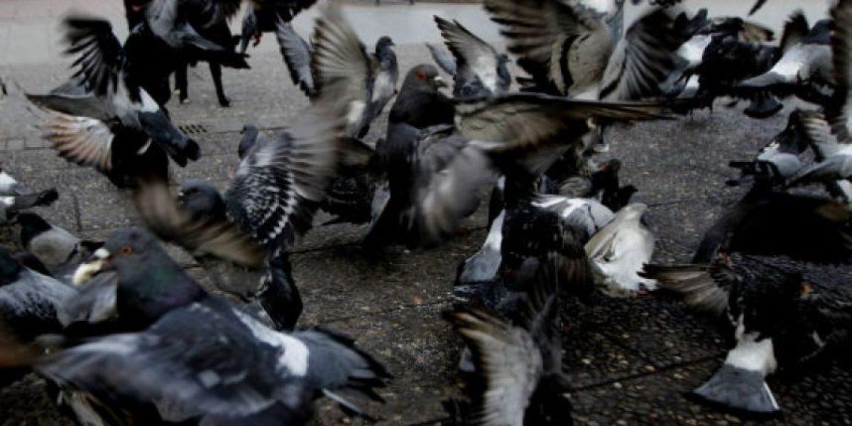 El extraño caso de envenenamiento de palomas en plaza de Ñuñoa