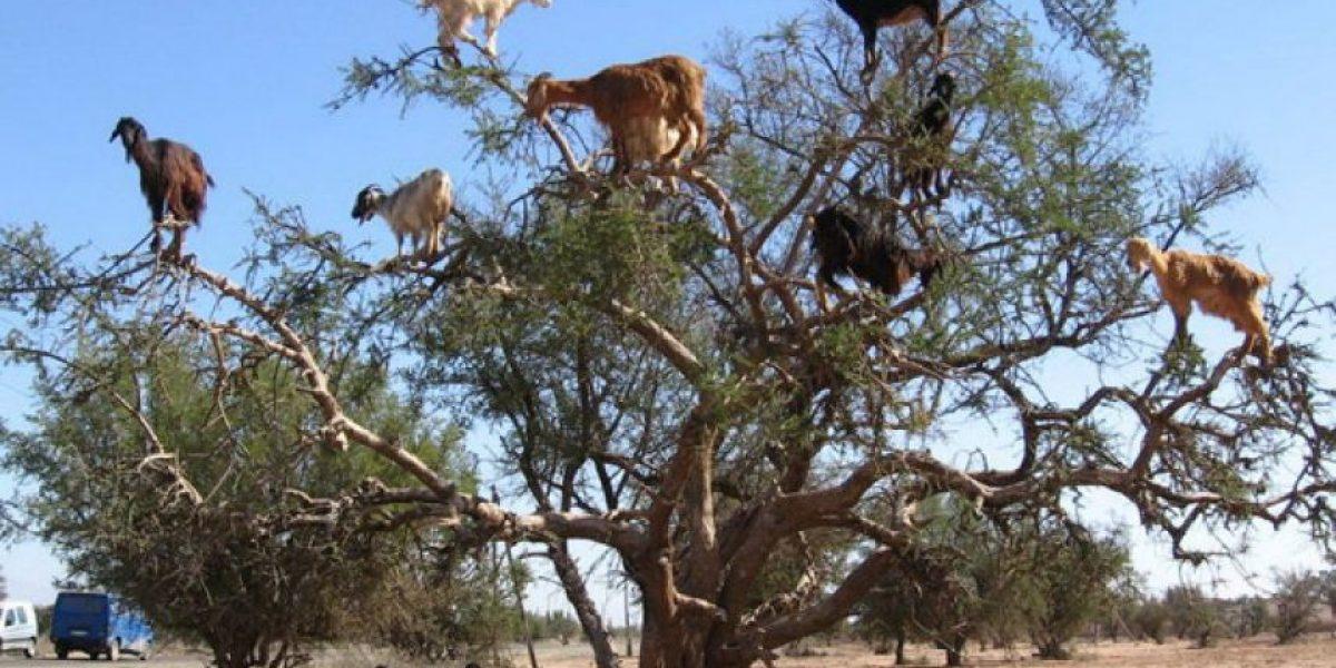 Las insólitas postales de las cabras trepadoras de árboles en África