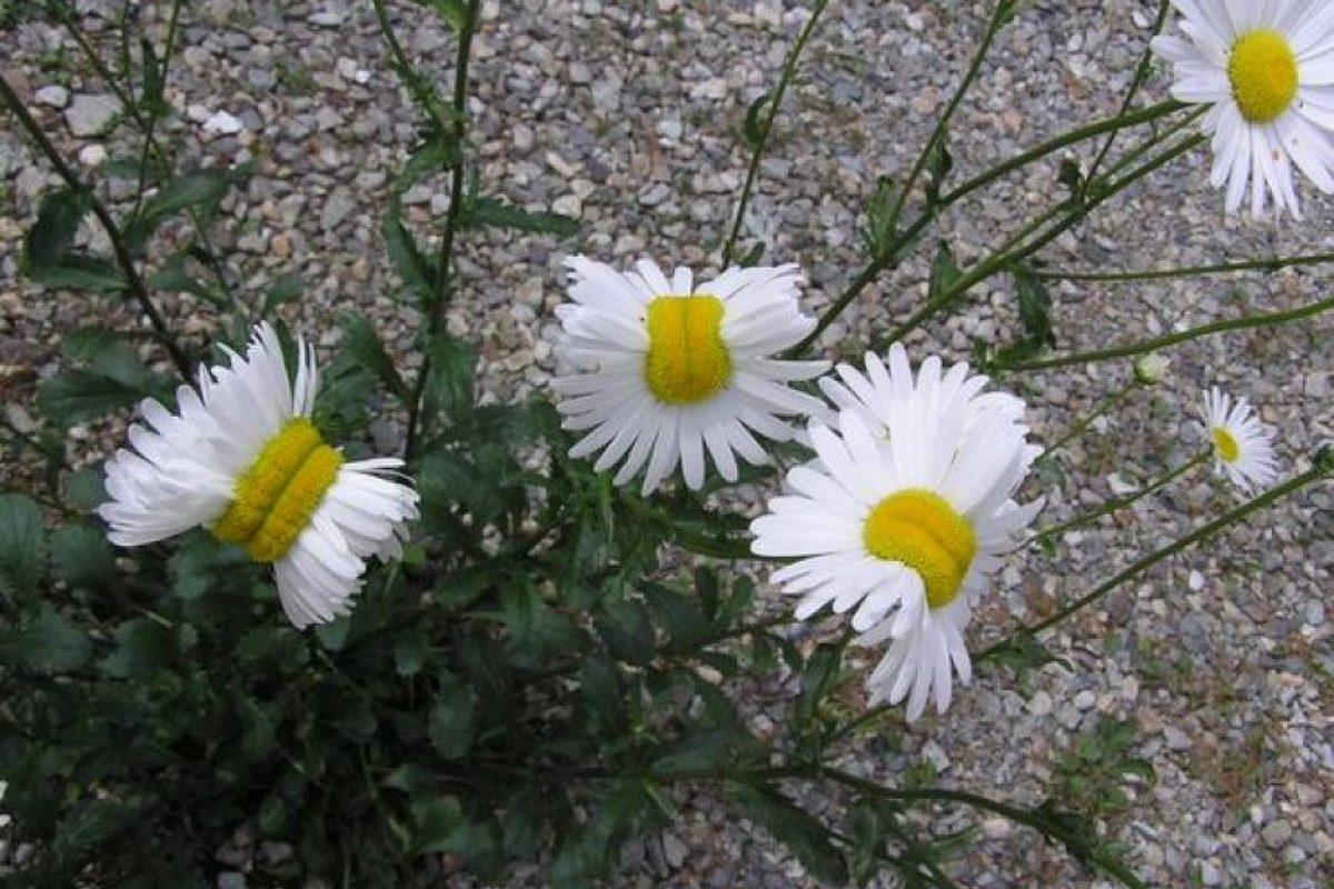 """En julio pasado se dieron a conocer estas fotografías de """"flores mutantes"""" en el país, tomadas en la ciudad de Nasushiobara, a 110 kilómetros de la planta nuclear. Foto:Twitter.com/san_kaido/. Imagen Por:"""