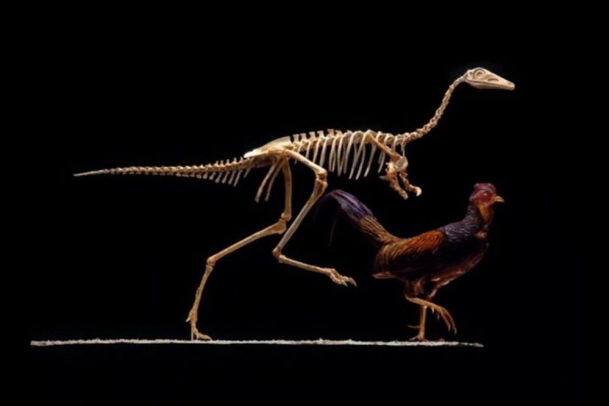 El Premio Ig Nobel de Biología -siempre uno de los más divertidos- ha sido otorgado a los científicos Bruno Grossi, Omar Larach, Mauricio Canals, y Rodrigo A. Vásquez y José Iriarte-Díaz, de Chile y Estados Unidos, por descubrir cómo sería la forma en la que pensamos que caminaban los dinosaurios gracias a su experimento con gallinas. Para ello, pusieron un palo con peso en la parte trasera de una gallina y… ¡voilà! así es como debían caminar los dinosaurios. La evidencia científica es incontestable. Foto:Foto reproducida. Imagen Por: