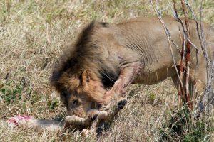 El león se come al cachorro que probablemente sea suyo o hijo de un rival. Foto:vía Barcroft. Imagen Por: