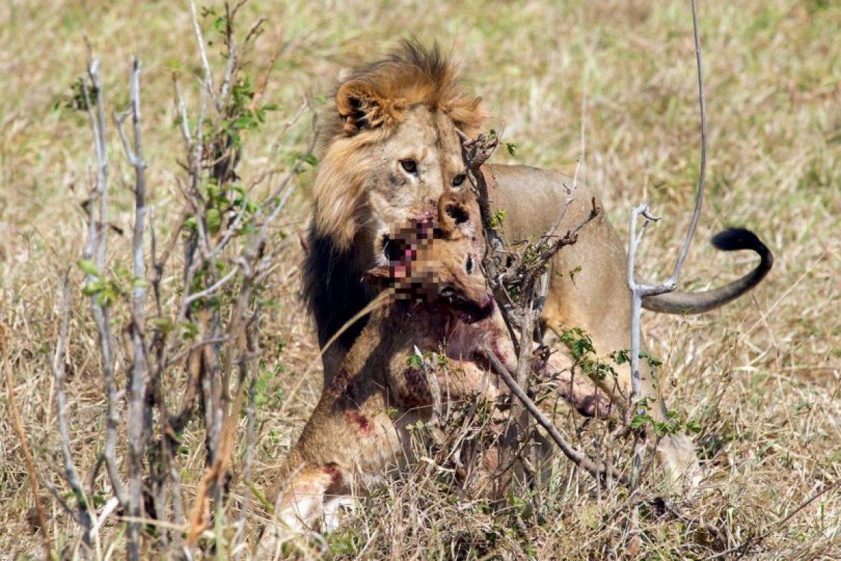 En sangrientas luchas de poder, los leones macho suelen matar a los cachorros de su rival o los suyos propios. Foto:vía Barcroft. Imagen Por: