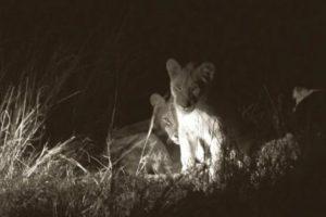 Esto se temía con los cachorros de Cecil, el león asesinado por Walter Palmer en Hwange, Zimbawe. Foto:vía AFP. Imagen Por: