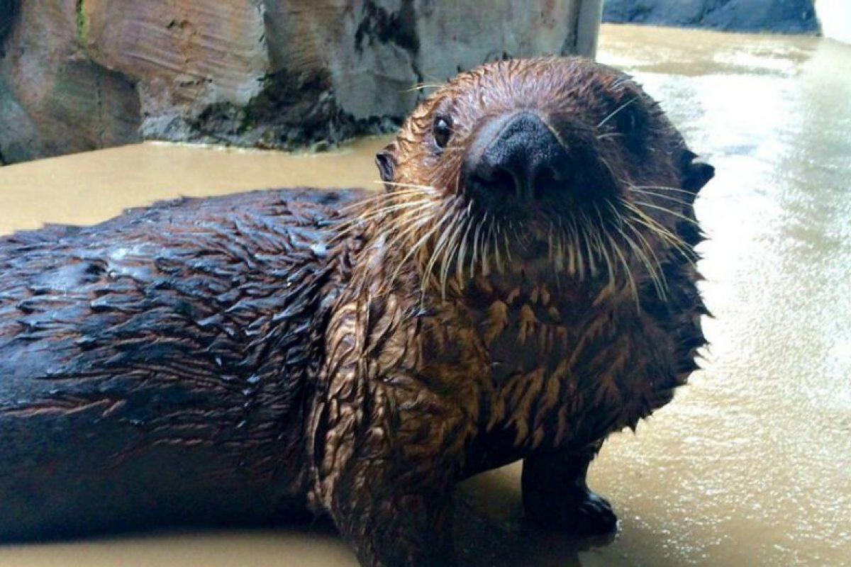 Mishka tiene un año de edad. Foto:Vía Twitter.com/SeattleAquarium. Imagen Por: