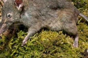 Se alimentan de invertebrados y frutas. También de pequeños vertebrados. Foto:vía Mammalogy.org. Imagen Por:
