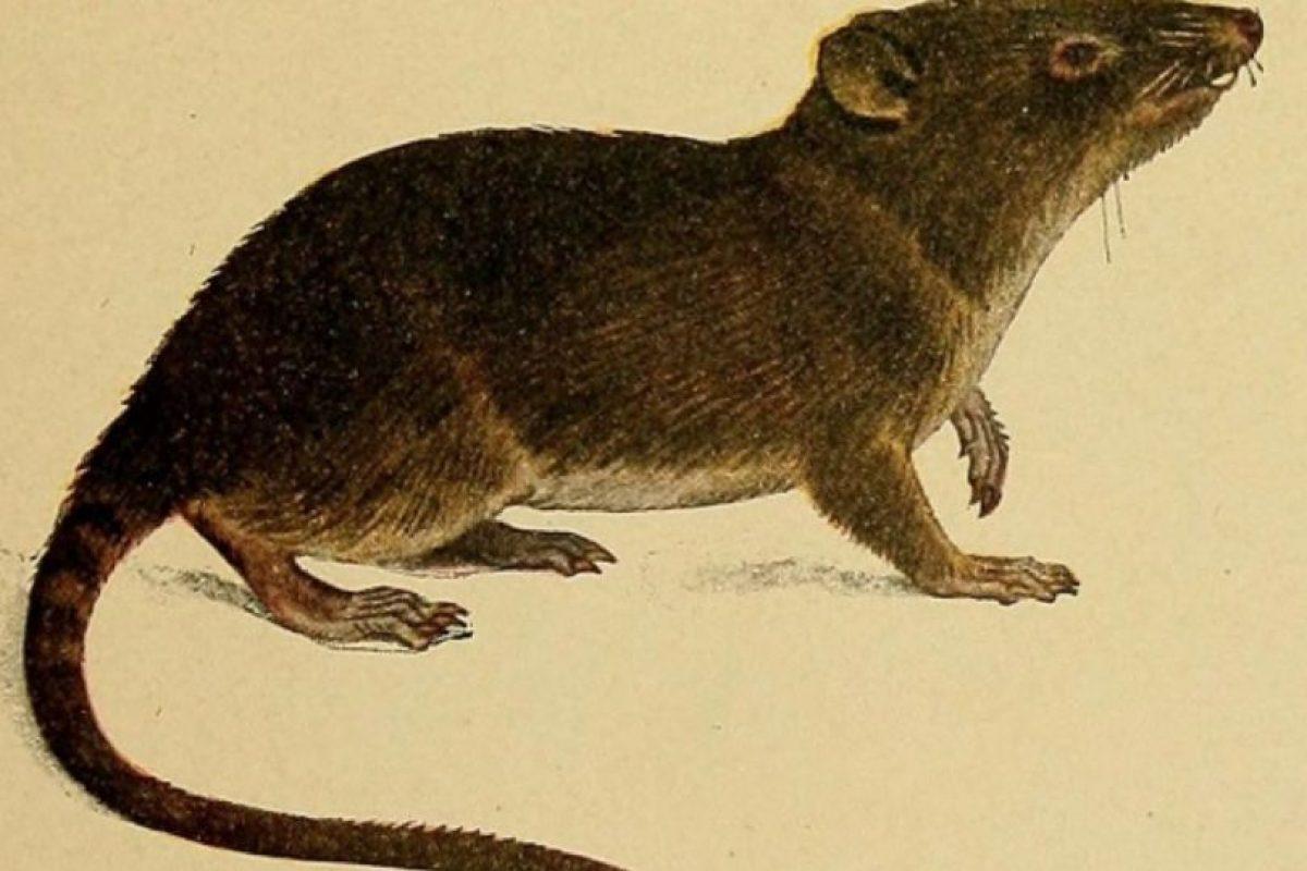 """De ahí a que se les llame """"runchos"""". Foto:vía Wikipedia. Imagen Por:"""