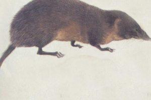 """Han logrado atrapar a muy pocos. Algunos se """"cuelan"""" por accidente en casas cercanas a su hábitat. Foto:vía Wikipedia. Imagen Por:"""