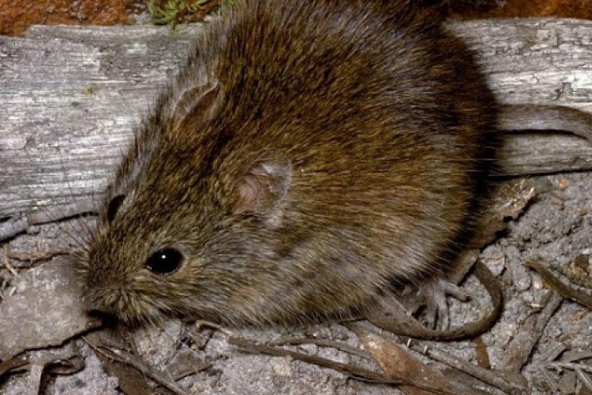 Pero no son como la rata (más pequeña en comparación a un runcho) que se apareció en Londres. Foto:vía AnimalDay. Imagen Por: