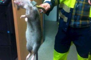 En Inglaterra confundieron a una con un gato. Pero las ratas gigantes no son un mito. Foto:vía Facebook/Aaron Slade.. Imagen Por: