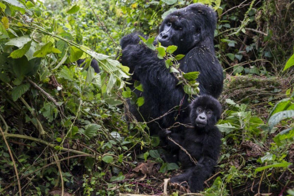 Miembros del Parque Nacional de Virunga intentan proteger a los gorilas de la cacería ilegal. Foto:Getty Images. Imagen Por:
