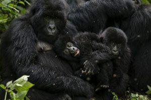 Virunga es considerado Patrimonio de la Humanidad. Foto:Getty Images. Imagen Por: