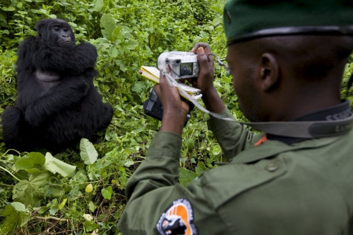 Sin embargo, así como los gorilas más de 140 guardabosques de Virguna han sido asesinados por protege el parque. Foto:Getty Images. Imagen Por:
