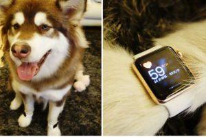 El hijo de un millonario chino regaló dos de estos relojes de oro para su perro… así como lo escuchan. Este hecho causó indignación en esta sociedad asiática Foto:Webo. Imagen Por: