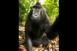 Estas fotografías fueron distribuidas por la red bajo la premisa de que el macaco tomó las fotografías por lo que eran libres de derechos de autor. Foto:Vía Wiki. Imagen Por: