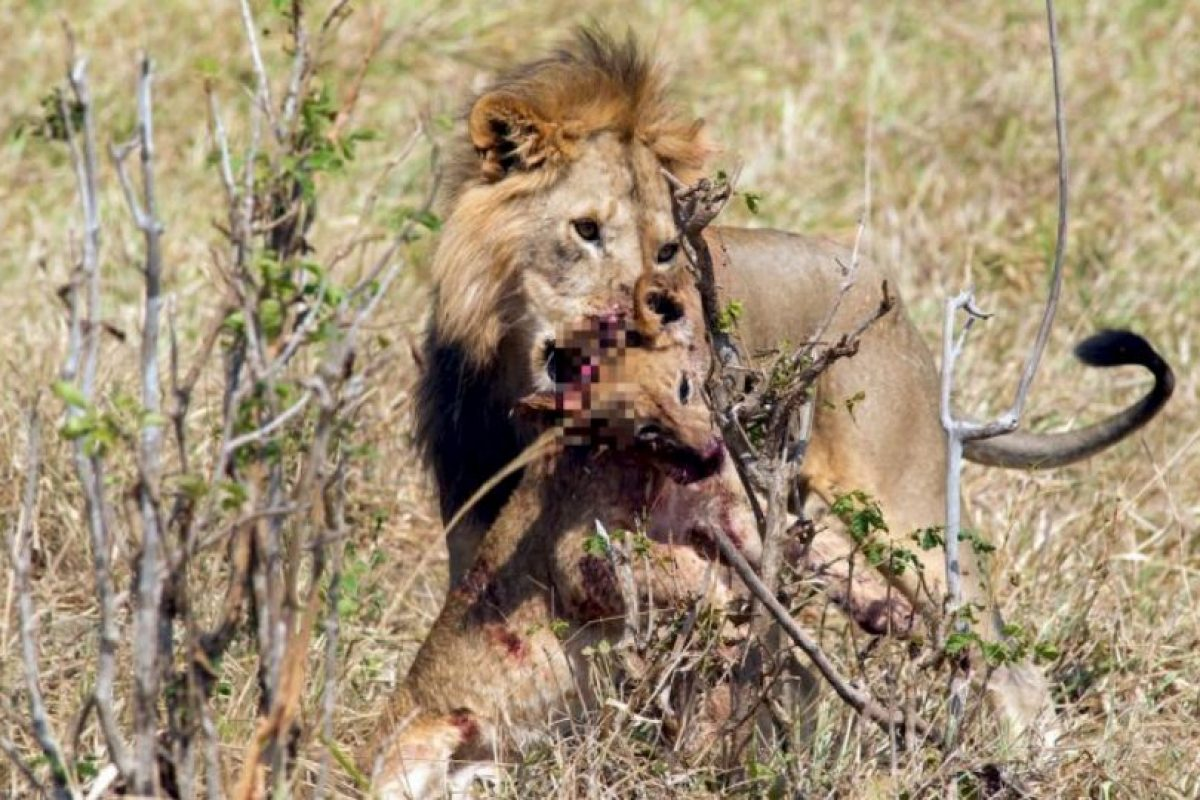 Al fin y al cabo, son presa fácil de los otros leones. Foto:vía Barcroft. Imagen Por: