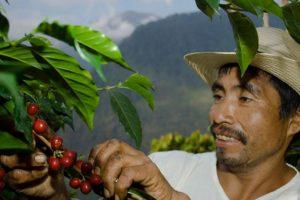 El café de El Injerto, en Guatemala, también tiene un sabor único. Cuesta 50 dólares la libra. Foto:vía Getty Images. Imagen Por: