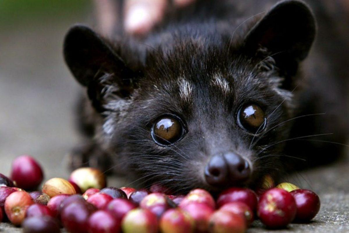 Si saben apreciar el proceso de hechura de un buen café, el Luwak excederá sus expectativas. Está hecho de las deposiciones de la civeta (este animal). Foto:vía Wikipedia. Imagen Por: