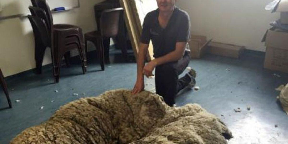 Un australiano esquila más de 41 kilos de lana de una oveja y bate el récord mundial