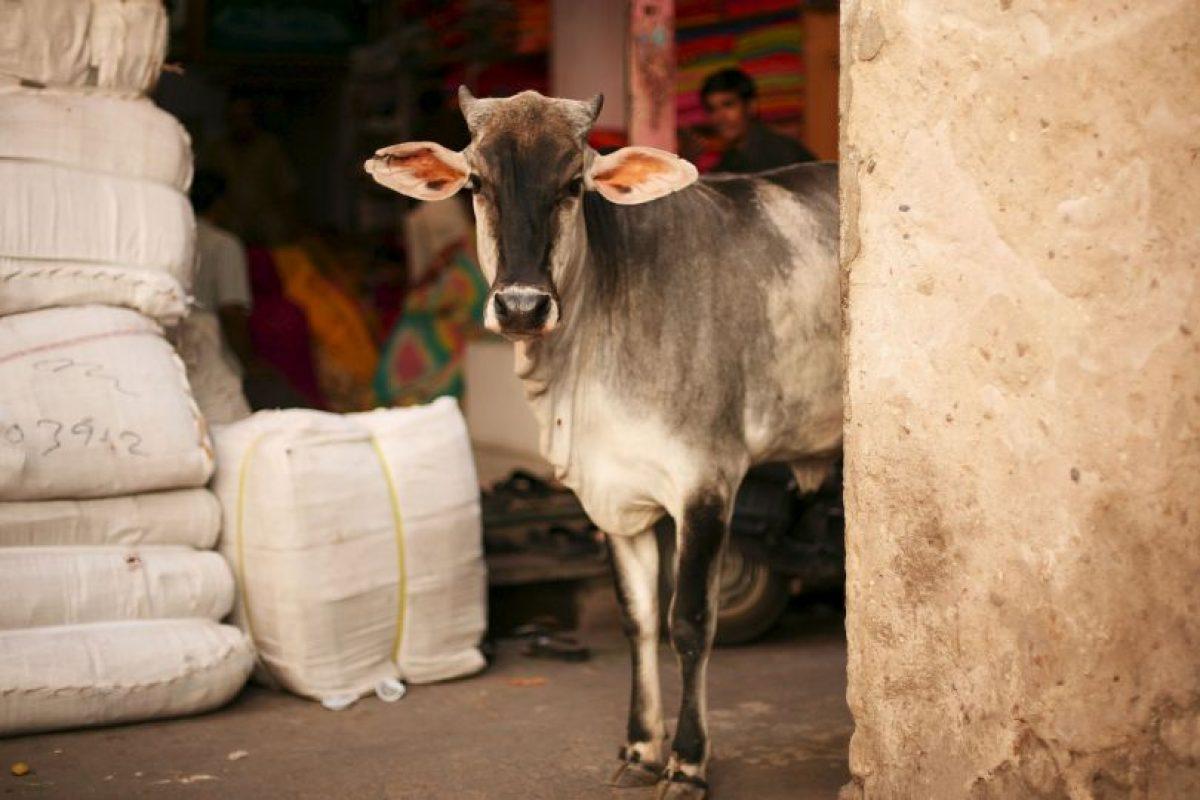 Los toros tienen el mismo respeto, aunque su significado es diferente. Foto:Getty Images. Imagen Por: