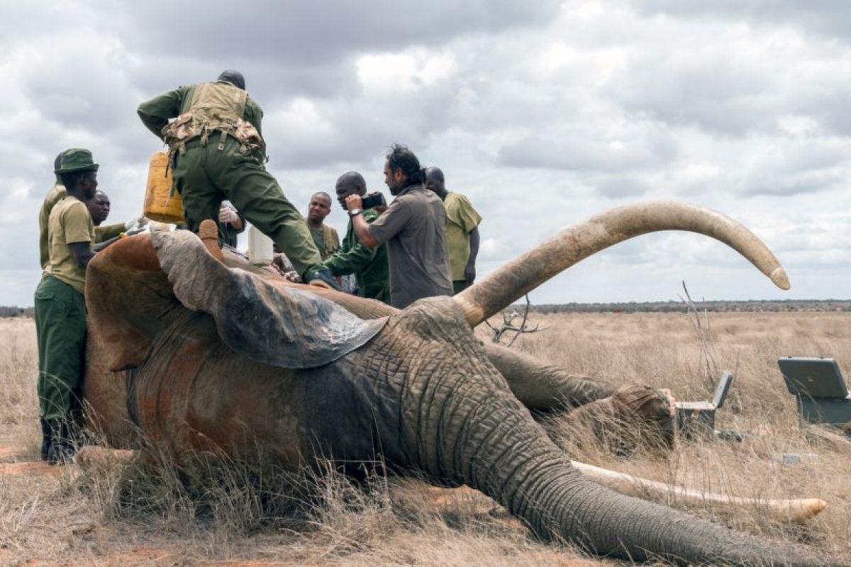 El animal fue tratado por el grupo conservacionista Wildlife Trust. Foto:vía Barcroft Media. Imagen Por: