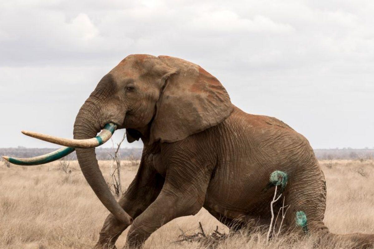 EL pobre elefante fue herido con una flecha envenenada. Foto:vía Barcroft Media. Imagen Por: